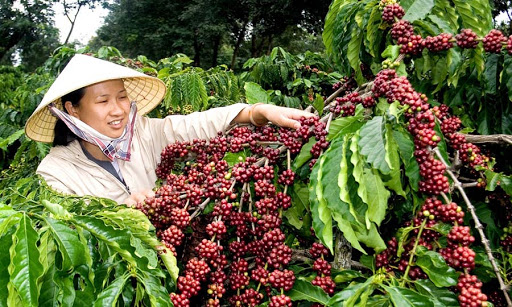 Vietnam coffee market offer a good supply of Robusta coffee beans at a competitive price