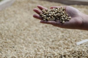 Vietnam-Robusta-Coffee-4-Must-buy-Types-of-Robusta- In-Vietnam-1