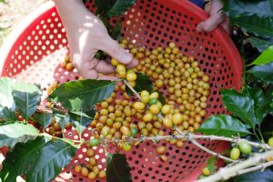 Vietnam-specialty-coffee-sourcing