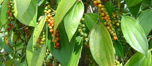 Vietnam pepper exporter