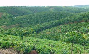 Cau-Dat-Farm-that-grow-Cau-Dat-Arabica