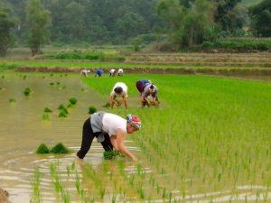 planting vietnamese rice