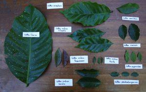 Vietnam Liberica Coffee leaves