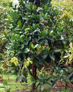 Liberica tree