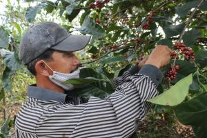 Farmer harvest liberica coffee